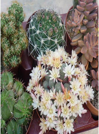 Selection de 6 cactus