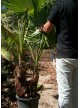 Washingtonia doble