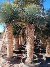 Yuccas Rostrata