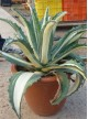 Agave mediopicta