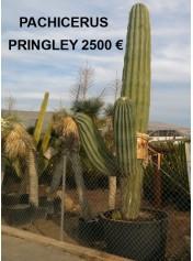 Pachicerus Pringley