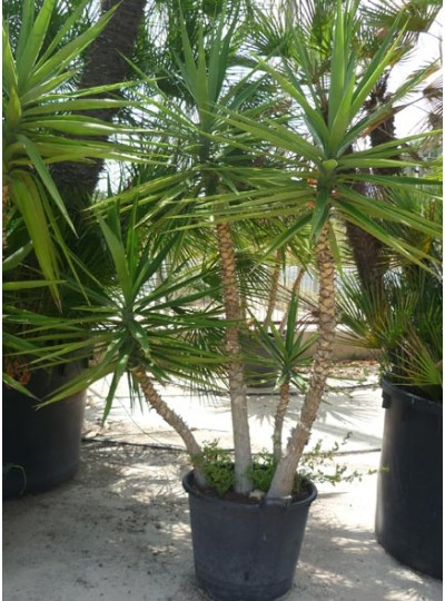 Yucca Ferox