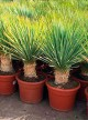 Yucca Dasilyrion