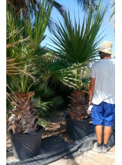Washingtonia, Palma mexicana.